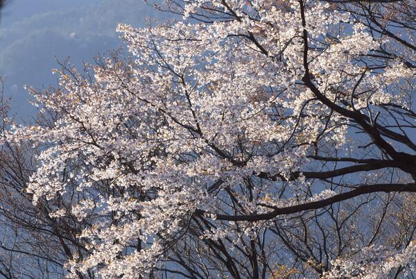 標高560メートルの山桜