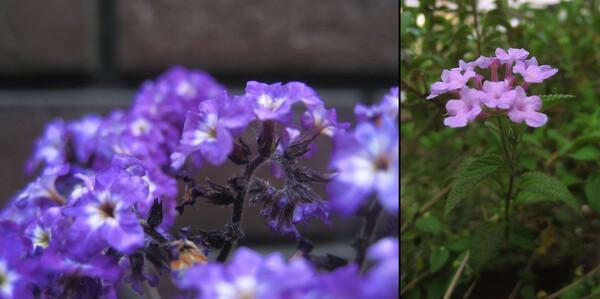 紫の香り(2)