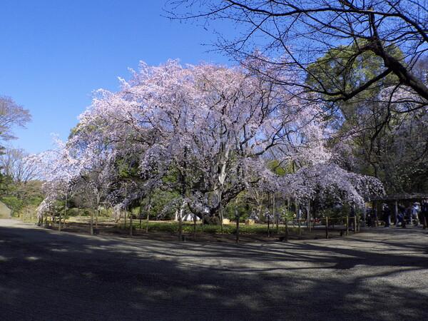 早朝の六義園のしだれ桜