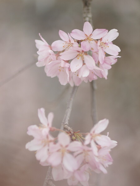 【淡彩】しだれ桜