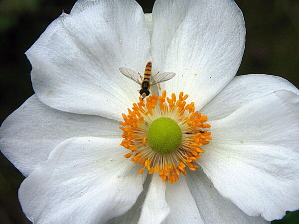 【秋】明菊にヒラタアブが
