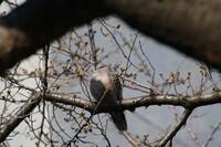 首の短い鳩