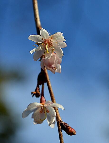 1月12日の桜
