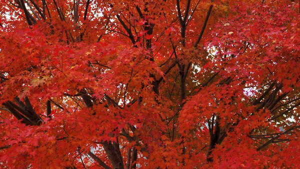 The Red Leaves