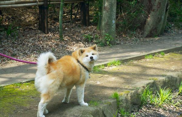メタボ気味な秋田犬♀