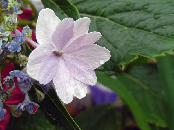 雨の紫陽花 ①
