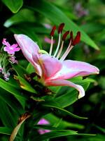 庭に咲く百合