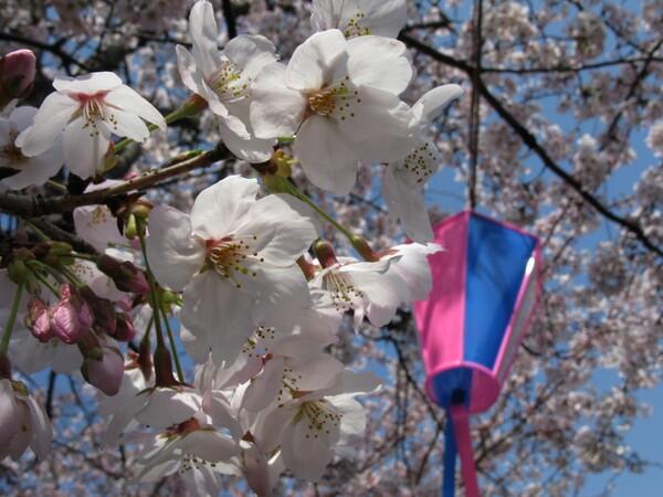 桜祭り、の雰囲気