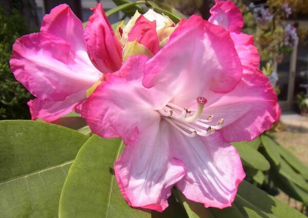 石楠花のUP