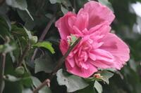 韓国の国花