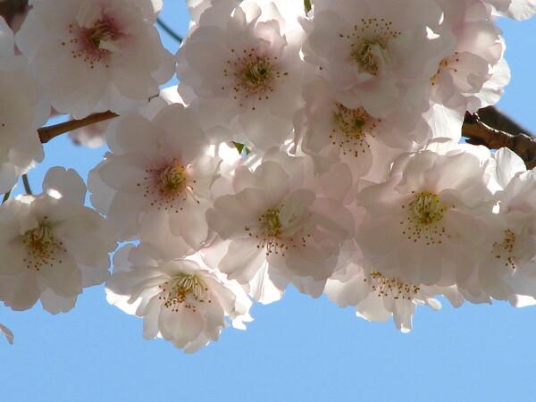 【おだやかに・・・・春】八重桜