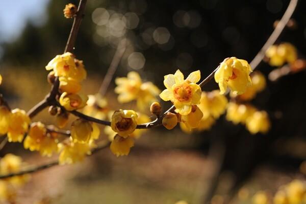 蝋梅が咲きました。