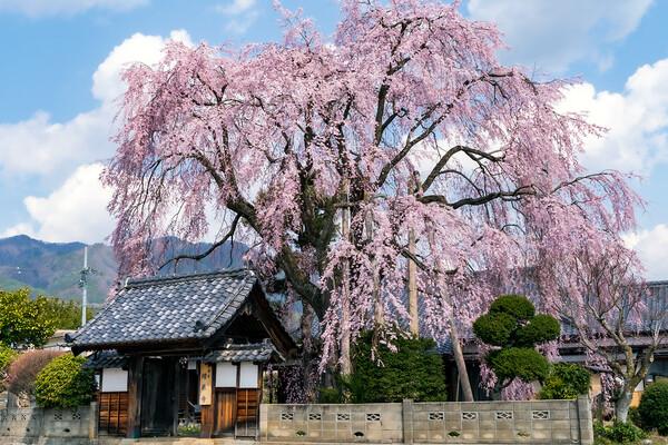 【はな】増泉寺のしだれ桜2020