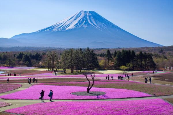 富士山と芝桜