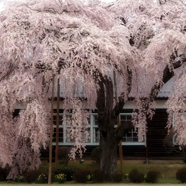 【スクエア】しだれ桜