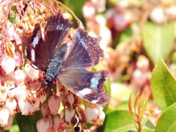 【彩】  アセビに蝶