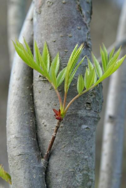 幹から新緑