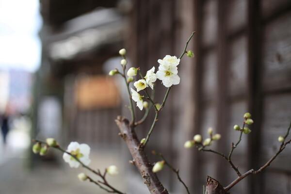 【はるの予感】蔵のある通りに咲く