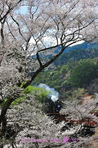 満開の大井川鉄道