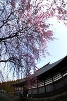 またまたフィッシュアイで桜