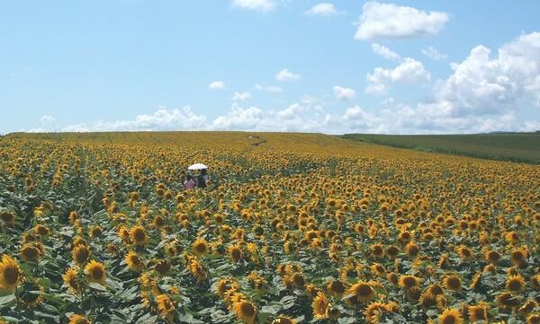 【花のある情景】向日葵の小径【夏】