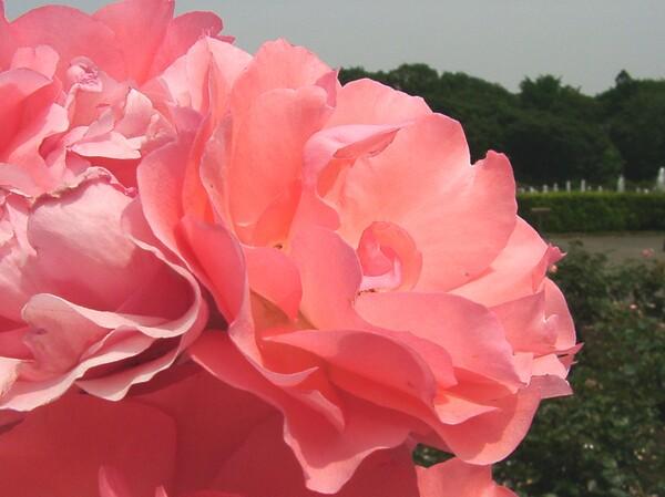★09春バラ・セレクション-80=最終回
