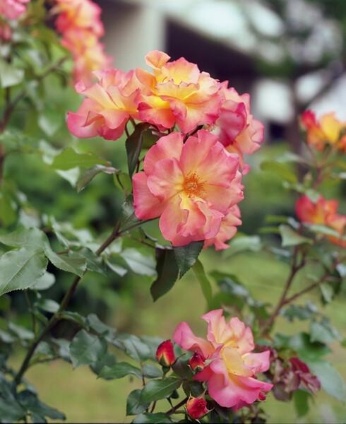 ご近所の薔薇