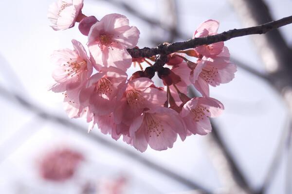 初撮り 桜