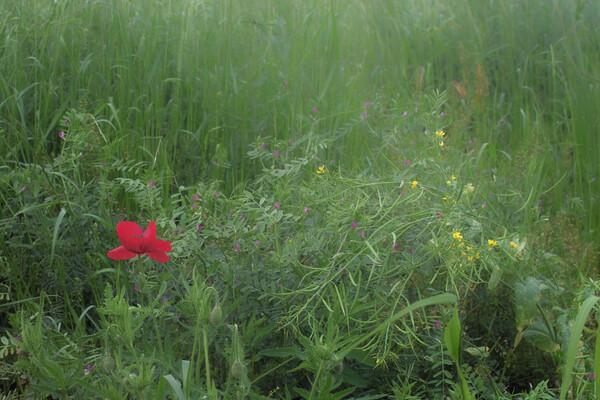 【赤】草風赤花