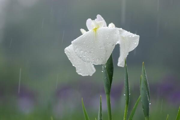 雨のハナショウブ