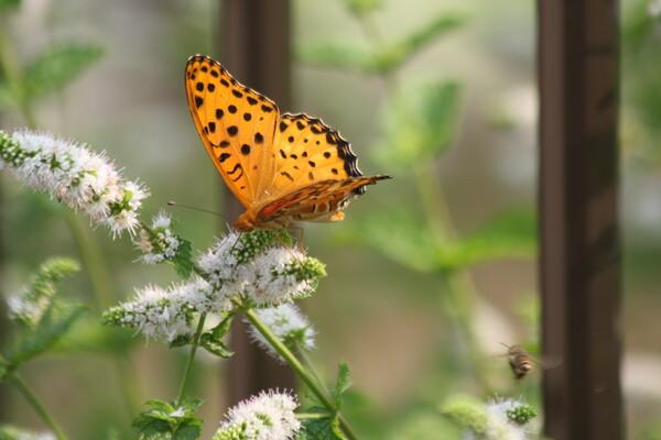 ミントに集まる蝶