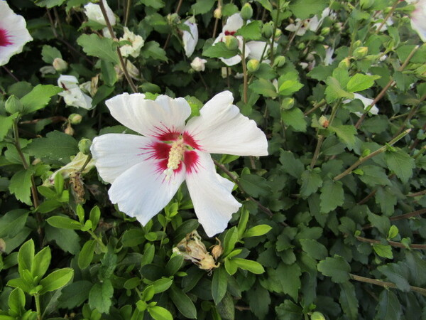 木蓮がある風景 綺麗な色合です