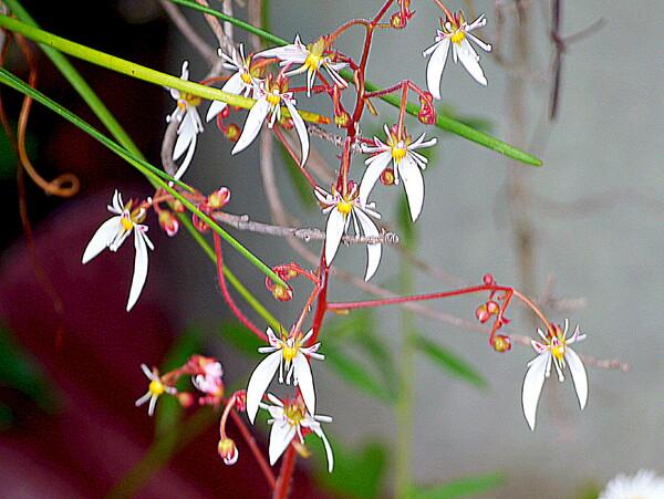 【散歩】途中で見た花 ユキノシタ