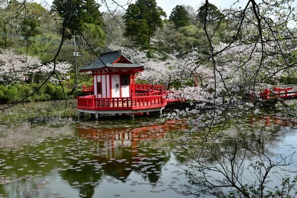 やっと桜満開