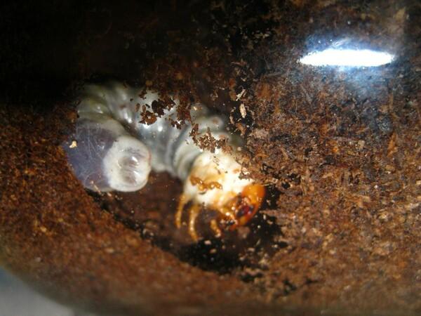 ヒラタクワガタ幼虫