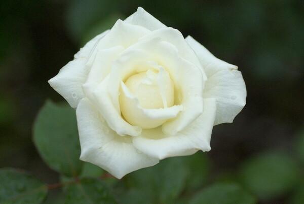 銀世界という名の白バラ