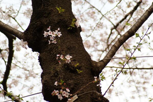 『緑』残る桜