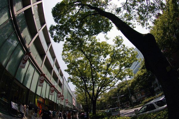 並木の大木