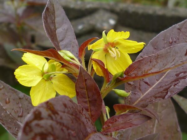 夏咲く黄色い花