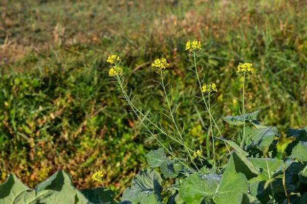 秋に咲いた菜種の花。
