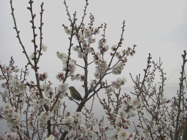 【花のある情景】潮騒の梅