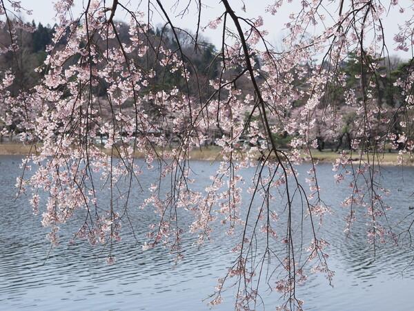枝垂れ桜と漣と