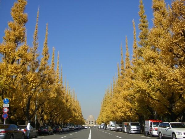 【秋】いちょう並木