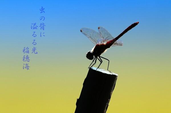 【秋】  赤とんぼ