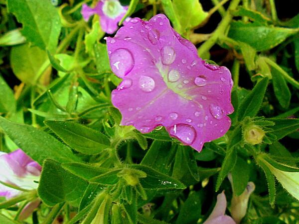 雨の中のサフィニア