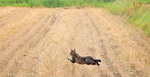 【猫】 畑 を 飛 ぶ 猫