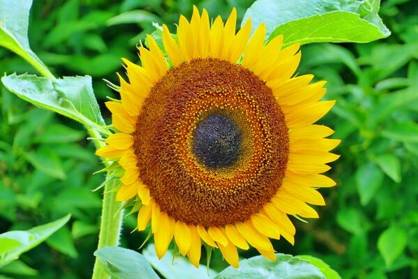 【夏】向日葵