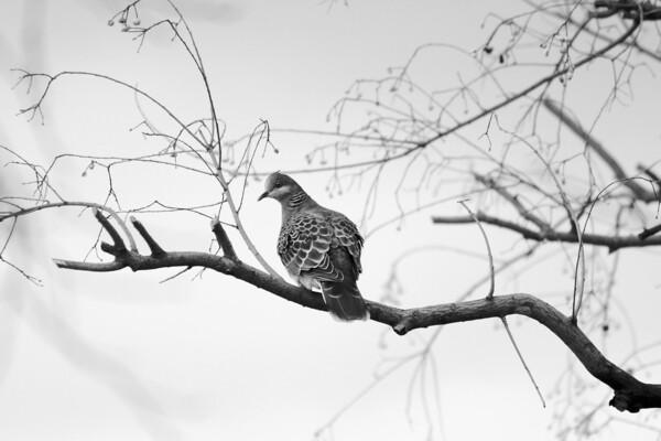 見返り美鳥、キジバト