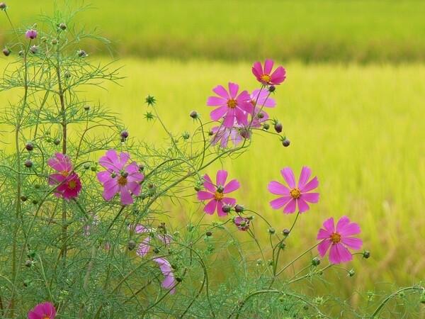 【トキメキの色】稲とコスモス