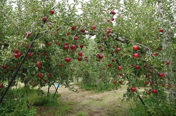 リンゴ園3